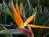 brazilian bird of paradise