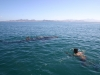 Swimming with whale sharks in bay of La Paz