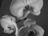 orchid-004-bw